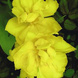 Merton Allen - Yellow  Begonia