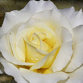 Phyllis Denton - Yellow Blush White Rose