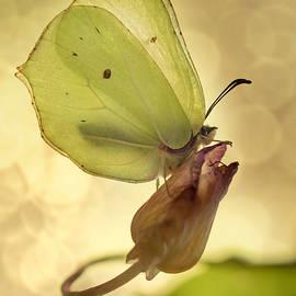 Jaroslaw Blaminsky - Yellow butterfly on a dry flower