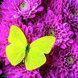 Yellow Butterfly On Pink pompon - Garry Gay