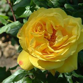 Lorna Kay - Yellow Charlotte Rose