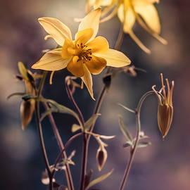 Jaroslaw Blaminsky - Yellow Columbine flowers at sunset
