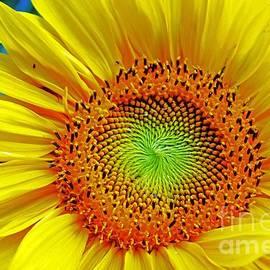 Violeta Ianeva - Yellow Cosmos