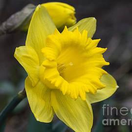 Arlene Carmel - Yellow Daffodil