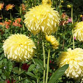 Baslee Troutman Fine Art Photography - Yellow Dahlia Flowers Garden Art Prints