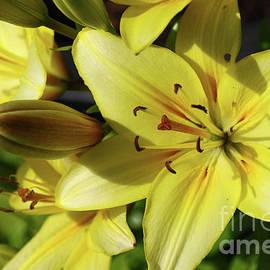 Deborah Bowie - Yellow Lilies