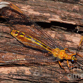 Kaye Menner - Yellow Double Winged Insect by Kaye Menner