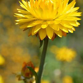 Geraldine Cote - The Yellow Everlasting Daisy - Australian Native Flower