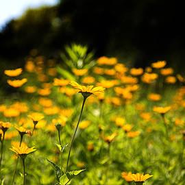 Milena Ilieva - Yellow Field