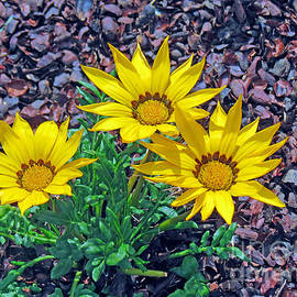 Kay Novy - Yellow Gazania Flowers