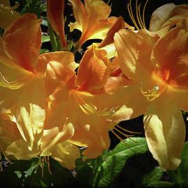 Donna Kennedy - Yellow Golden Flame Azaleas