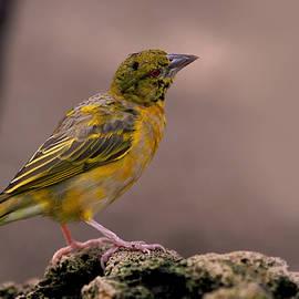 Rona Black - Yellow-green Vireo