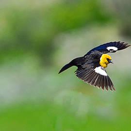 Dave Parmelee - Yellow Headed Black Bird