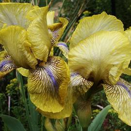 Bruce Bley - Yellow Irises