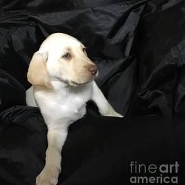 Jeffrey Koss -  Yellow Lab Puppy Sadie
