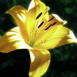 Johanna Hurmerinta - Yellow Lily In Sunlight