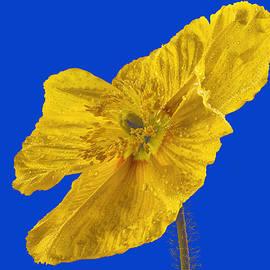 Jean Noren - Yellow Poppy on Blue Background