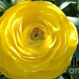Charlotte Gray - Yellow Primrose