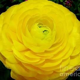 Rose Santuci-Sofranko - Yellow Ranunculus Flower