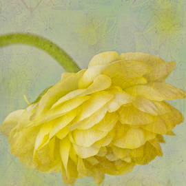 Sandra Foster - Yellow Ranunculus Macro