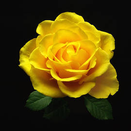 Johanna Hurmerinta - Yellow Rose 6