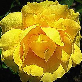 Bonita Brandt - Yellow Rose