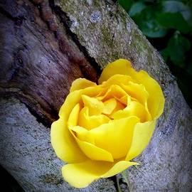 Dianne Pettingell - Yellow Rose