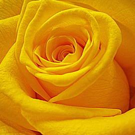 Bonita Brandt - Yellow Rose in Prime