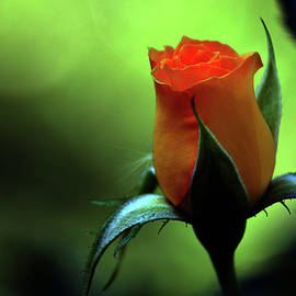 Lesa Fine - Yellow Rose in Splendor