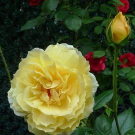 Anna Folkartanna Maciejewska-Dyba - Yellow Rose Midas Gold 2