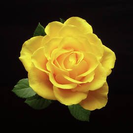 Johanna Hurmerinta - Yellow Rose On Black