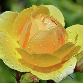 Terence Davis - Yellow Rose Portrait
