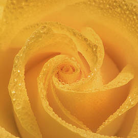 Don Johnson - Yellow Rose with Dew