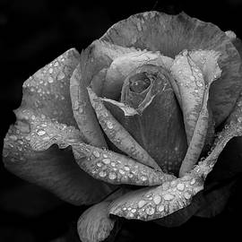 Jeff Waddell - Yellow Roses In Monochrome