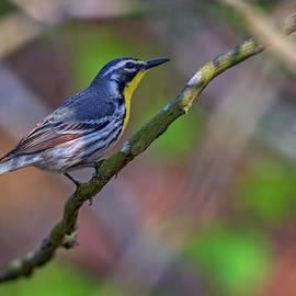 Yellow-throated Warbler - Rick Berk