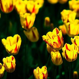 Alexander Senin - Yellow tulip flowers