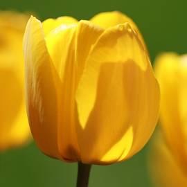 Dan Sproul - Yellow Tulips In Spring