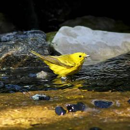 Teresa Zieba - Yellow Warbler