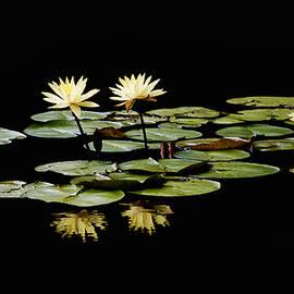 Steven  Michael - Yellow Water Lilies