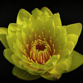 Don Columbus - Yellow Water Lily on Black