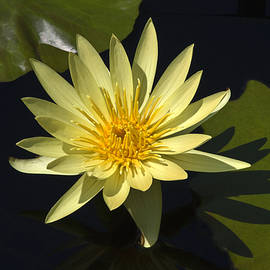 Sally Weigand - Yellow Water Lily