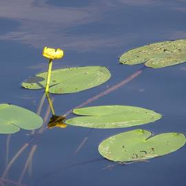 Vesna Martinjak - Yellow Water Lily
