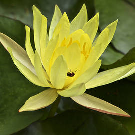 Venetia Featherstone-Witty - Yellow Waterlily With A Visiting Insect