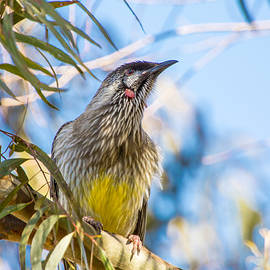 Brent Snow - Yellow Wattlebird
