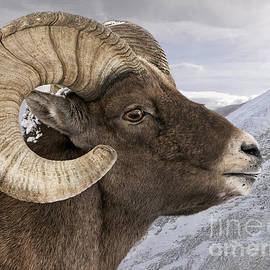 Wildlife Fine Art - Yellowstone Big Horn Ram