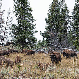 Jim Garrison - Yellowstone Buffalo