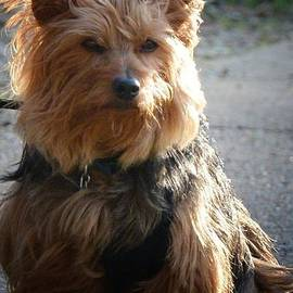 Maria Urso - Yorkshire Terrier 16-01