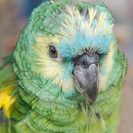 Mickey At Rawshutterbug - Young Amazon Parrot