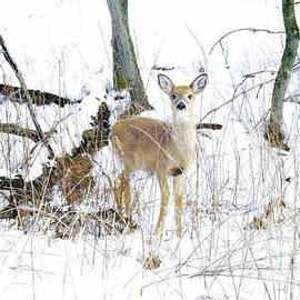 Robyn King - Young Doe And Spring Snow