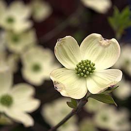 Kathy Barney - Young Dogwood Blossom